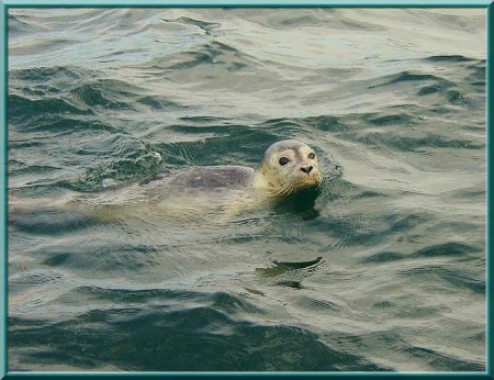 Seal Photo by Jay Albert of Cape Ann Images